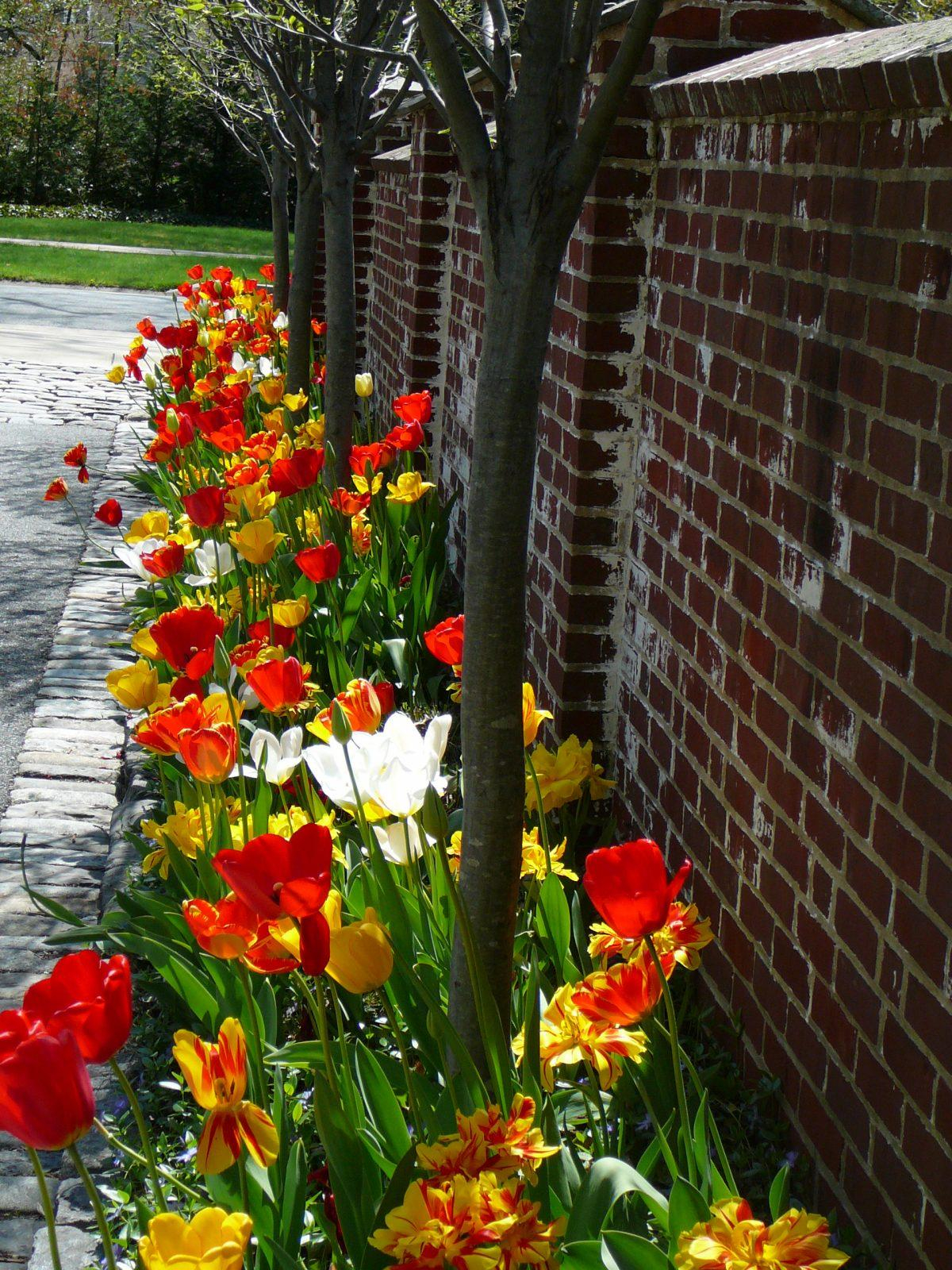 tulips-spring-garden-colorful-landscape-design-paoli-pa