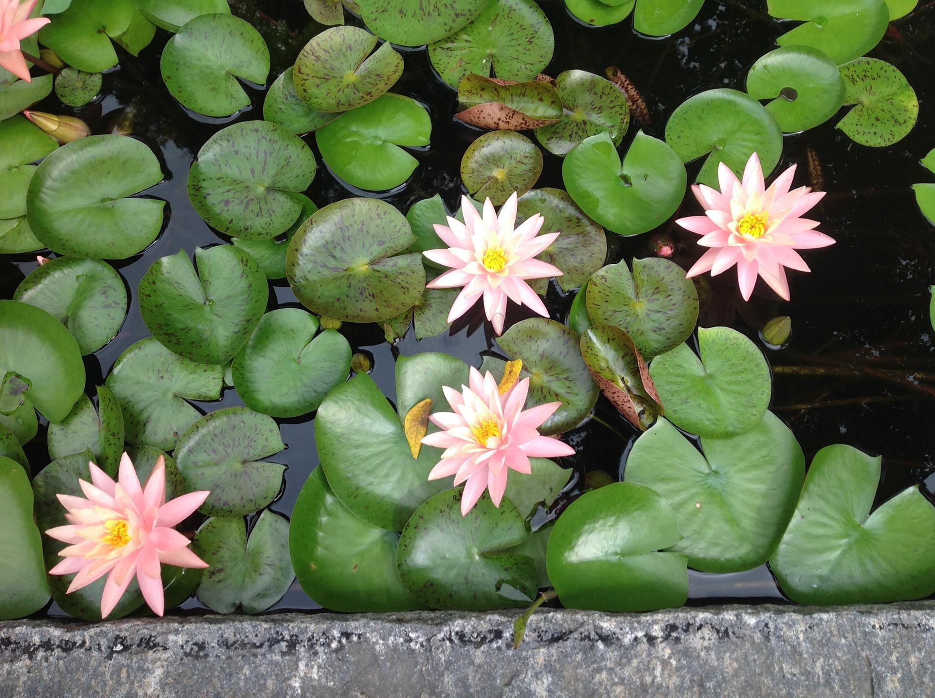 lily-pond-plant-water-garden-design-malvern-pa
